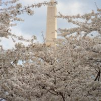Beautiful cherry blossum flowers blooming by the Washington DC monunment