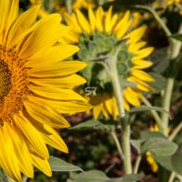 Clos-up of sunflower growing in a field