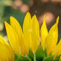 Close up of a sunflower with water drops on it