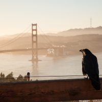A crow watching the misty sunrise over the Golden Gate Bridge
