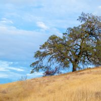 Lone tree on a hilltop and golden grass