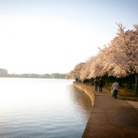 Tourists walking at the Tidal Basin  during Cherry Blossom festival