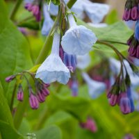 Close up of a beautiful Bluebells  flower growing in the forest