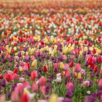 Lots of  colorfull tulips growing in the field