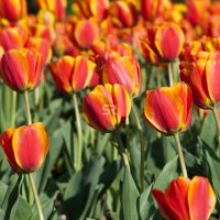 Close up of blooming orange tulips at the Netherlands Carillon next to Arlington National Cemetery