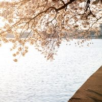 Beautiful sunrise over the Cherry Blossoms  in Washigton DC
