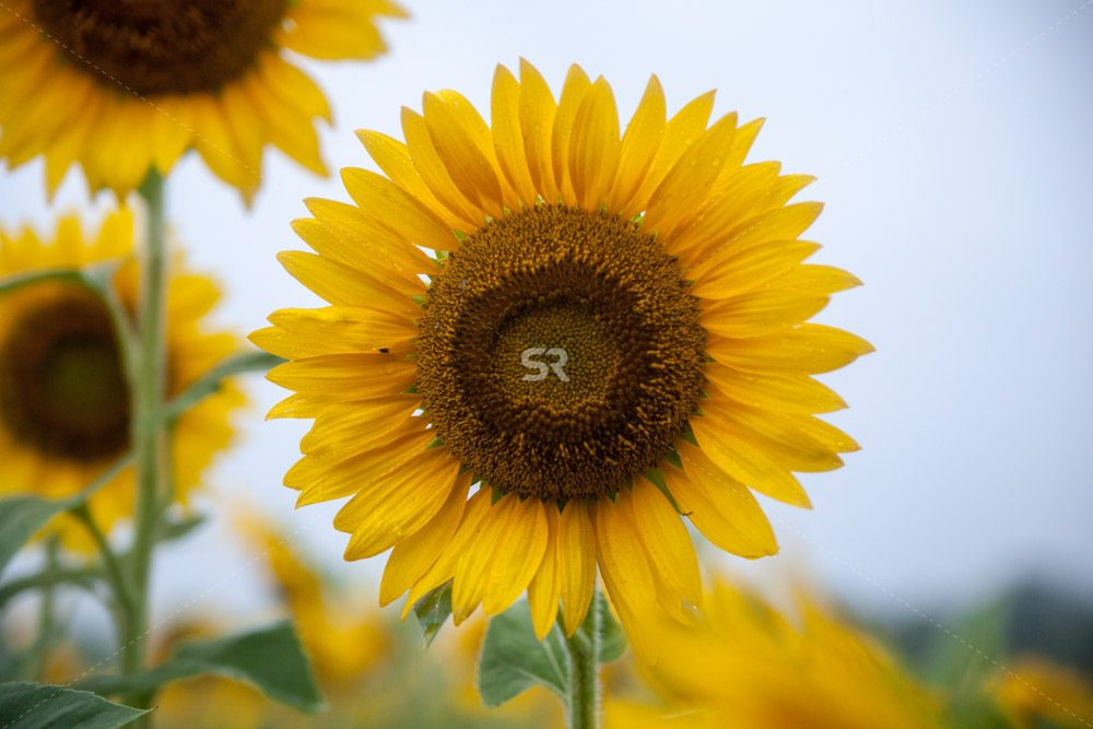 Close up of beautiful sunflower growing in the field