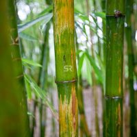 Bamboo grove in the jungles