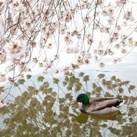 Ducks swimming at  the Tidal Basin during  the cherry blossoms in Washington DC