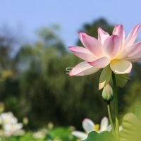 Blooming lotus flower pink beautiful  flower
