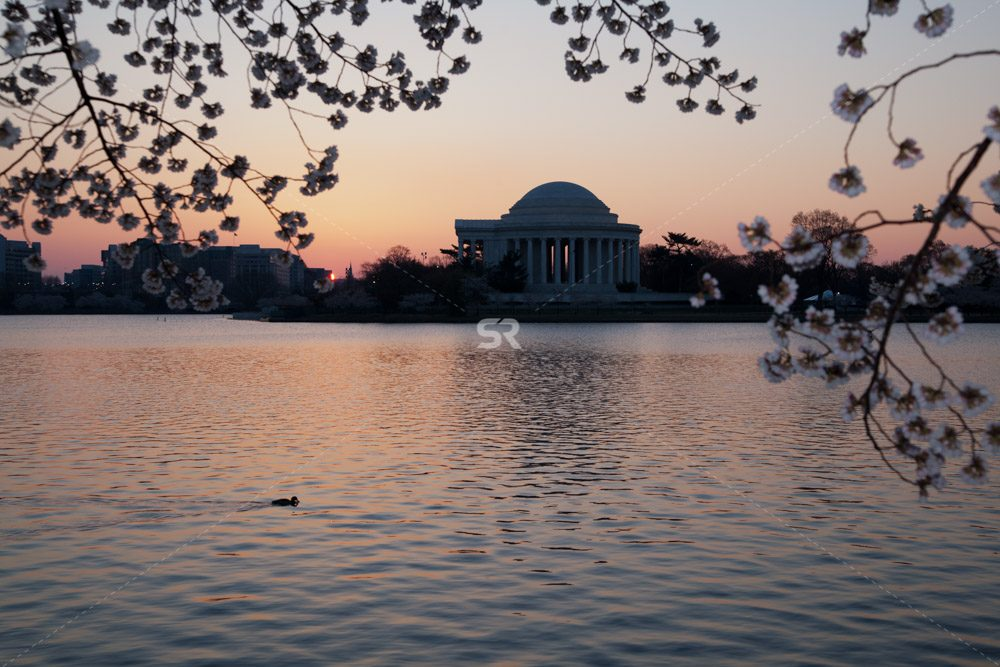 Cherry Blossoms framing  the Thomas Jefferson Memorial during sunrise  in Washington DC