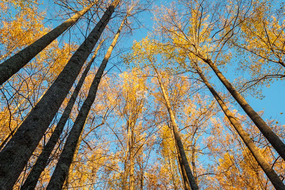 Golden autumn forest trees and blue sky. Looking up through tall autumn trees.