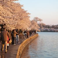 Tourists walking at the Tidal Basin  during Cherry Blossoms festival