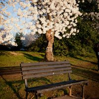 Cherry Blossoms growing over a park bench in Washigton DC