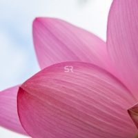 Close up of  a Pink Water Lily Petals Flower blooming