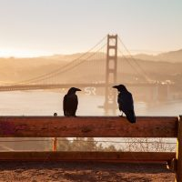 Two crows watching the misty sunrise by the San Francisco Golden Gate Bridge
