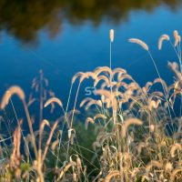 Wild golden grass illuminated by the sun at  the lake