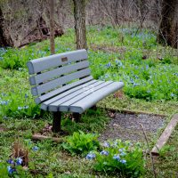 Beautiful field of Bluebells  flowers surrounding a park bench in the forest