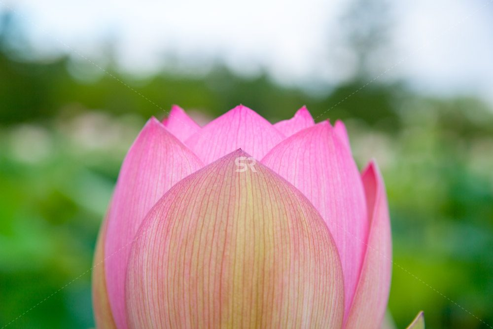 lotus water lily In bloom