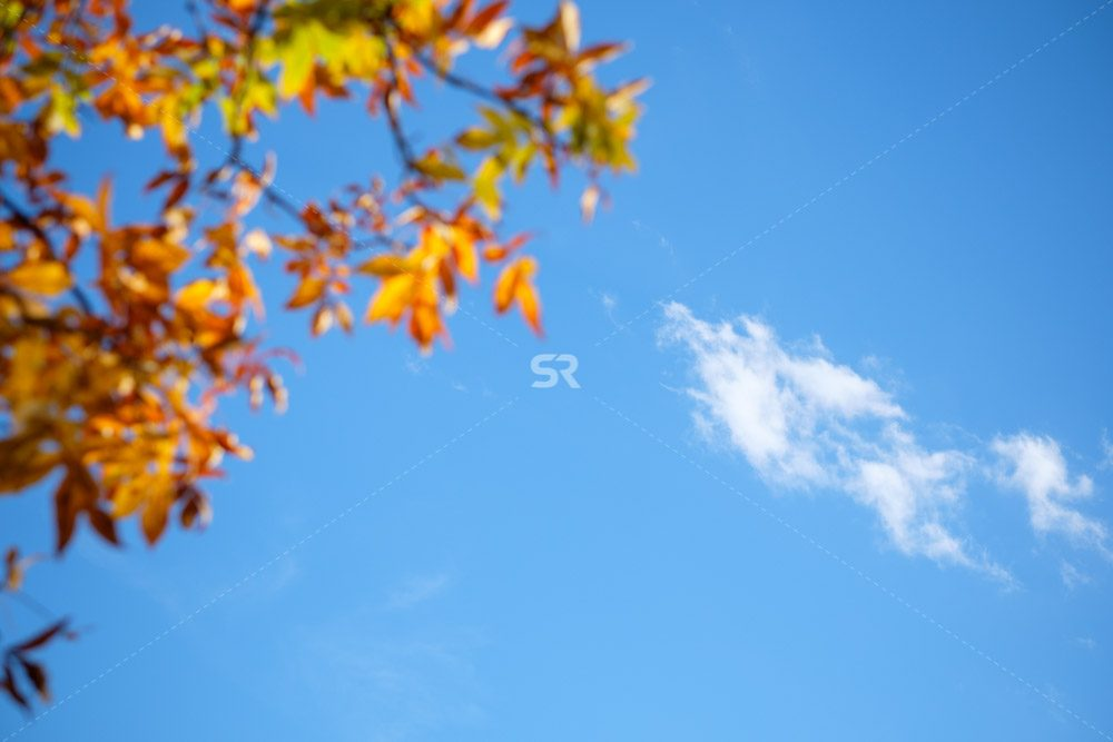 Fall yellow tree on sky blue background