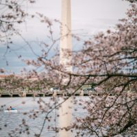 Washington DC Monument surrounded by Cherry Blossums