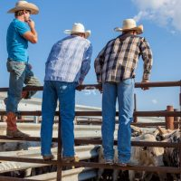 Three cowboys  looking at the  bulls before the rode