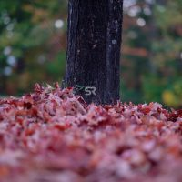Fallen Red leaves on the ground in the forest