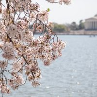 Cherry Blossums blooming in Washington DC by the Lincoln Memorial ona beautiful sunny day