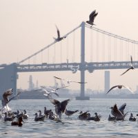 Seagulls in water with bridge and city in background