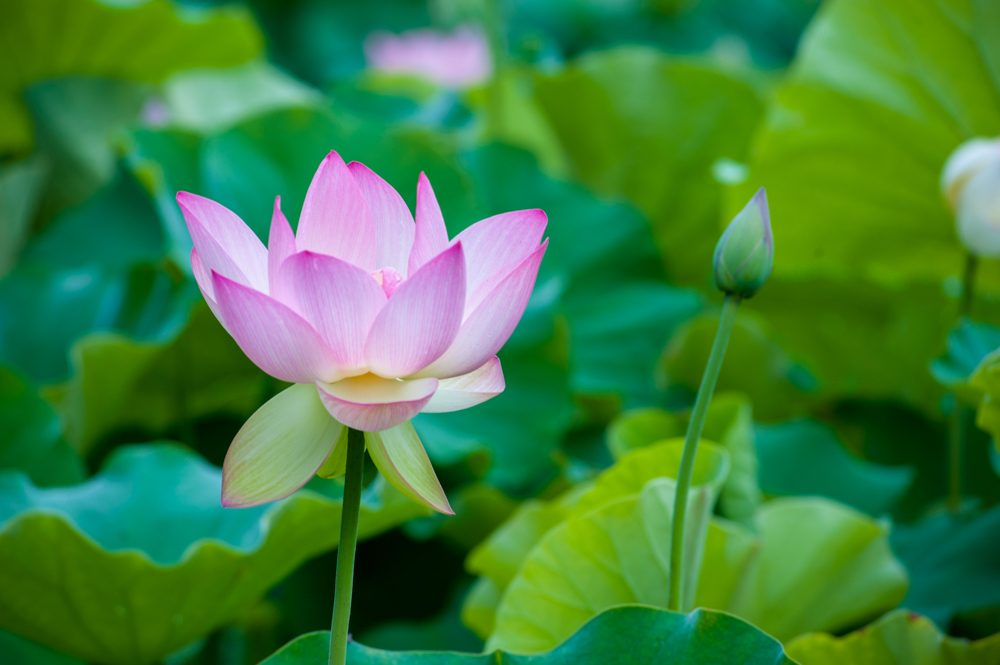 Beautiful pink water lily  flower in bloom on a beautiful sunny day
