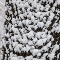 Snow covered tree bark texture during the winter