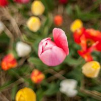 Over top angle of beautiful colorful tulips growing in the field