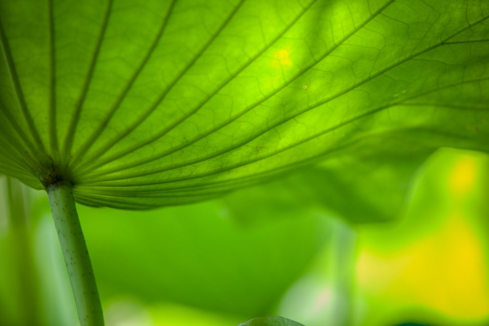 Close  up of Lotus flower  green Leaf growing in the pond
