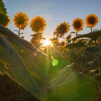 Beautiful shot of Sunflowers growing in a field during a beautiful sunrise