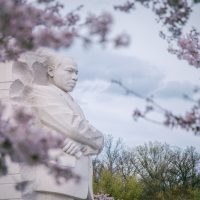 Cherry Blossums covering the martin luther king memorial