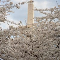 Cherry Blossoms  blooming by the Washington DC monunment