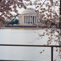 Cherry Blossoms framing  the Thomas Jefferson Memorial in Washington DC