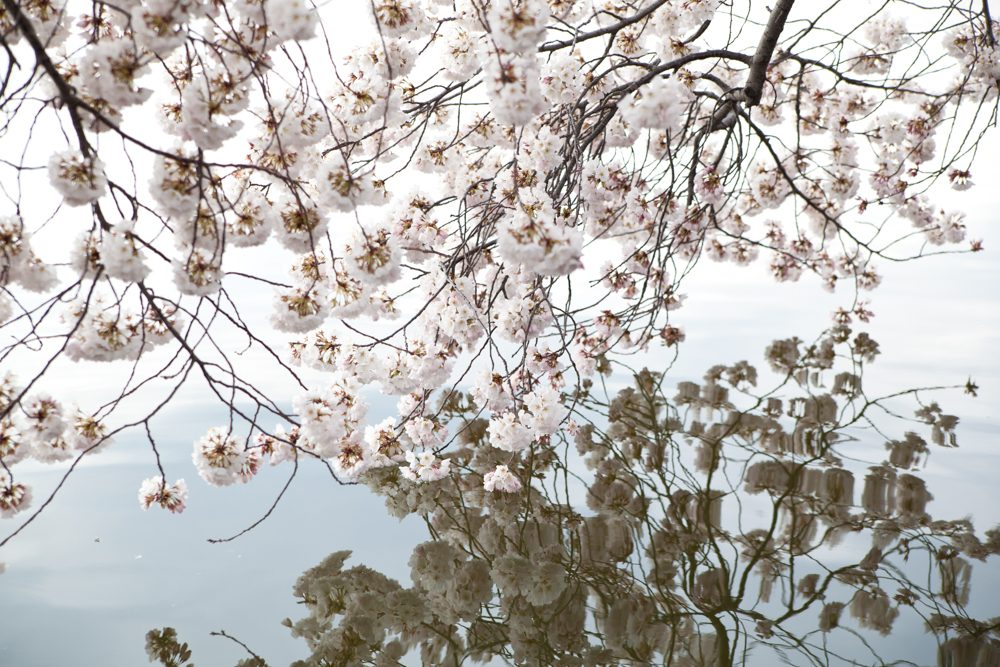 Cherry Blossoms  blooming by the by the Tidal Basin  in Washington DC