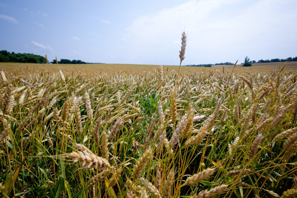 Wide shot of a Wheat field with trees in the distance