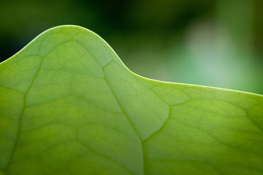 Water Lily Green Leaf growing