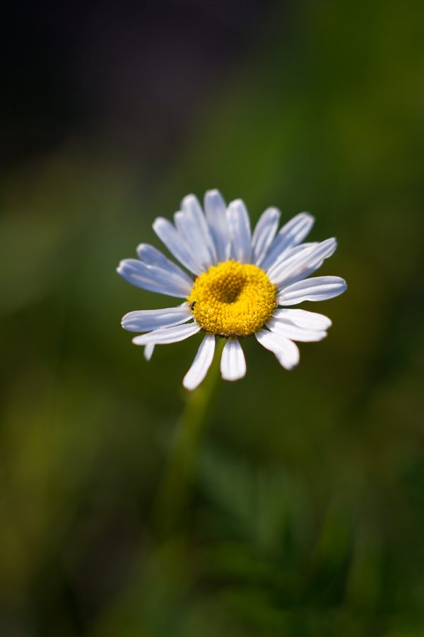 Chamomile flower growing in the forest
